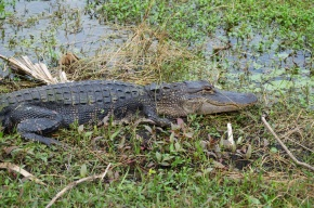 See You Later,Alligator